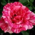 Роза Пинк Интуишн, чайно-гибридная, ОКС (упаковываем в мох свагнум)