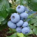 Голубика садовая Денис Блю (Denice Blue), 2 - летка, ЗКС- 2л