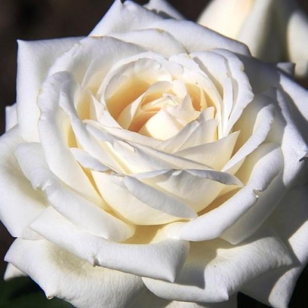 Роза Пьер Ардити, чайно-гибридная, ОКС (упаковываем в мох свагнум)