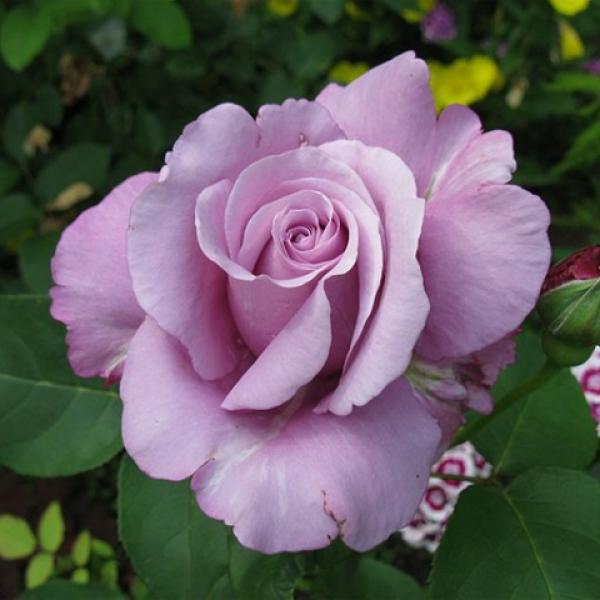 Роза Леди Икс, Чайно-гибридная, ОКС (упаковываем в мох свагнум)