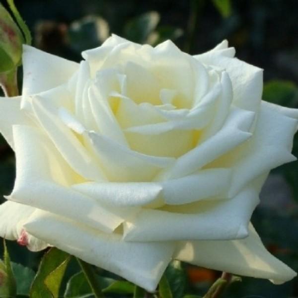 Роза Боинг, чайно-гибридная, ОКС (упаковываем в мох свагнум)