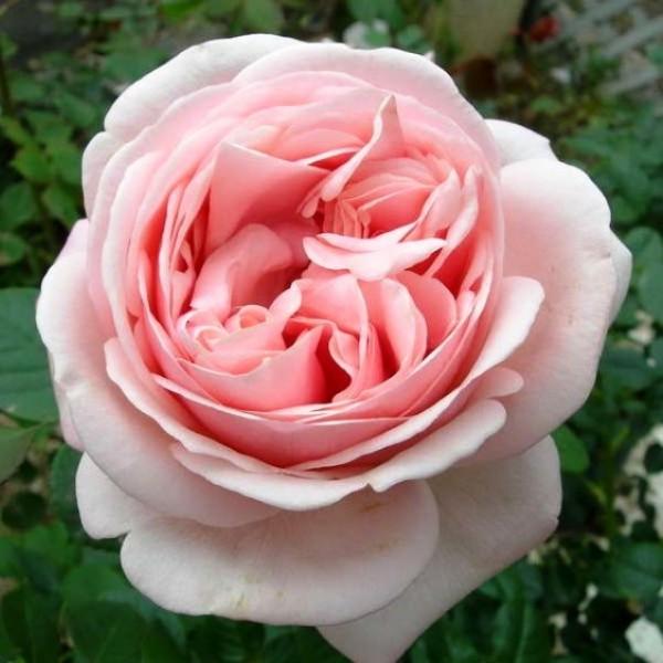 Роза Афродита, чайно-гибридная, ОКС (упаковываем в мох свагнум)