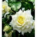 Роза Эльф, плетистая, ОКС (упаковываем в мох свагнум)