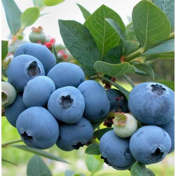 Голубика садовая Бригитта Блю (Brigitta Blue), 1-летка, ЗКС - 0.8л