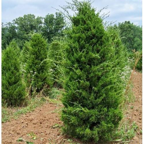 Можжевельник виргинский (Juniperus virginiana), ЗКС- 0.5л, 20-25 см , на осень