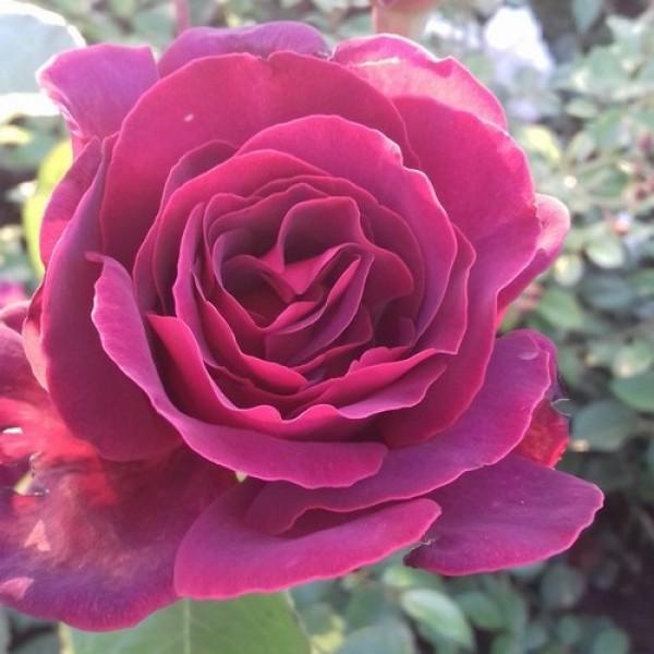 Роза Черри Глу, Чайно-гибридная