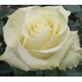 Роза Белый Шоколад, чайно-гибридная, ОКС (упаковываем в мох свагнум)