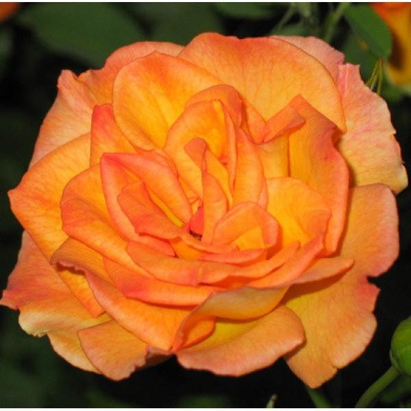 Роза Сахара, плетистая, ОКС (упаковываем в мох свагнум)