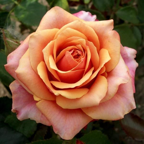 Роза Черри Бренди (Cherry Brandy), Чайно-гибридная , ЗКС