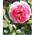 Роза Цезарь, плетистая, ОКС (упаковываем в мох свагнум)