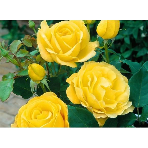 Роза Голден Медальон (Golden Medaillon), Чайно-гибридная