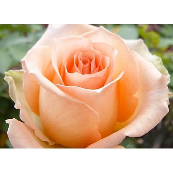 Роза Версилия, чайно-гибридная, ОКС (упаковываем в мох свагнум)