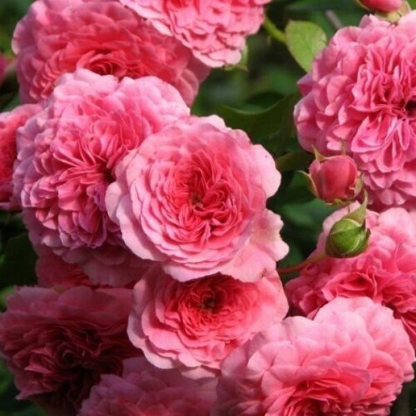 Роза Четыре Сезона (Les Quatre Saisons), ЗКС-4л (только доставка по Мск и самовывоз)