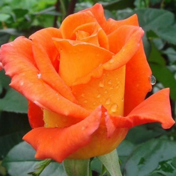Роза Миракла, чайно-гибридная, ОКС (упаковываем в мох свагнум)