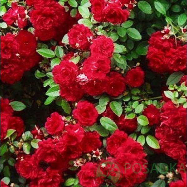 Роза Ред Каскад (Red Cascade), Почвопокровная,