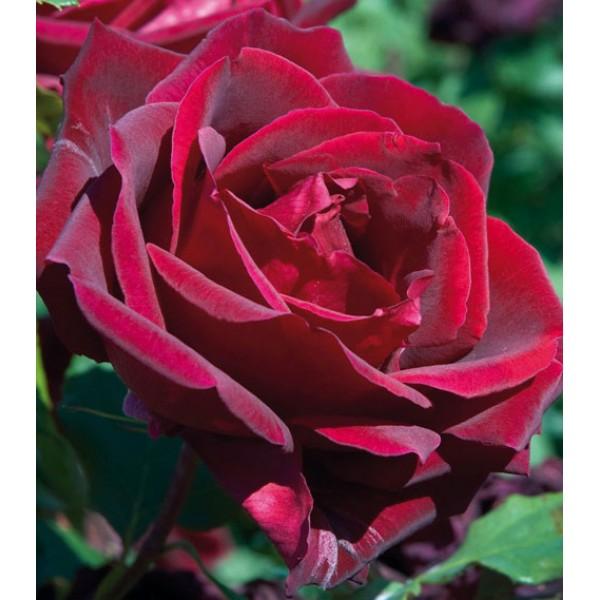 Роза Папа Мейян, чайно-гибридная, ОКС (упаковываем в мох свагнум)