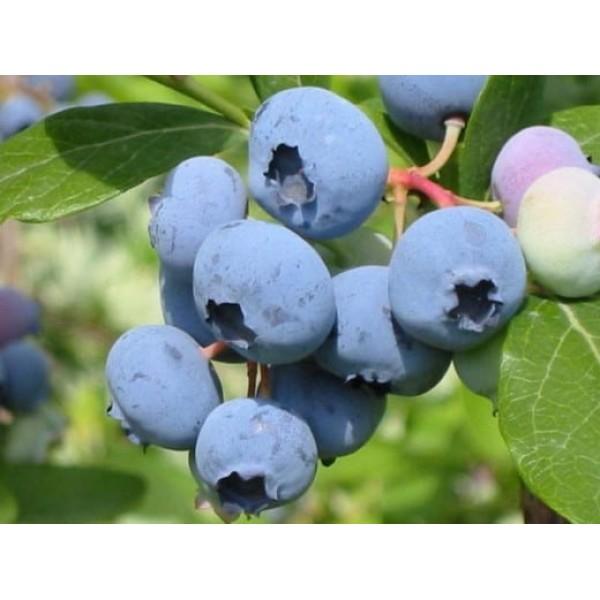 Голубика садовая Блюкроп (Bluecrop) ,2- летка, ЗКС - 0.5л