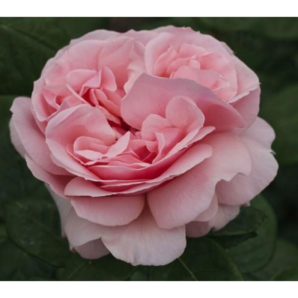 Роза Донателла (Donatella), Чайно-гибридная ,
