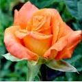 Роза Экзотика, чайно-гибридная, ОКС (упаковываем в мох свагнум)