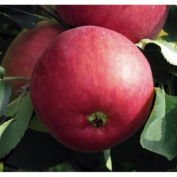Яблоня Жигулевское, нет в наличии