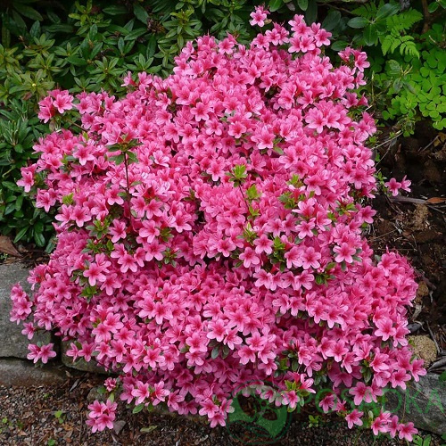 Рододендрон AJ Rhododendron AJ Silvester, ЗКС-  P9