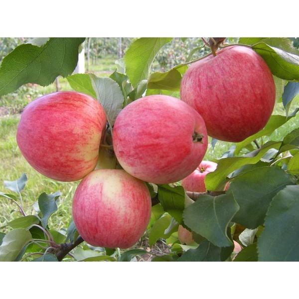 Яблоня Болотовское, нет в наличии