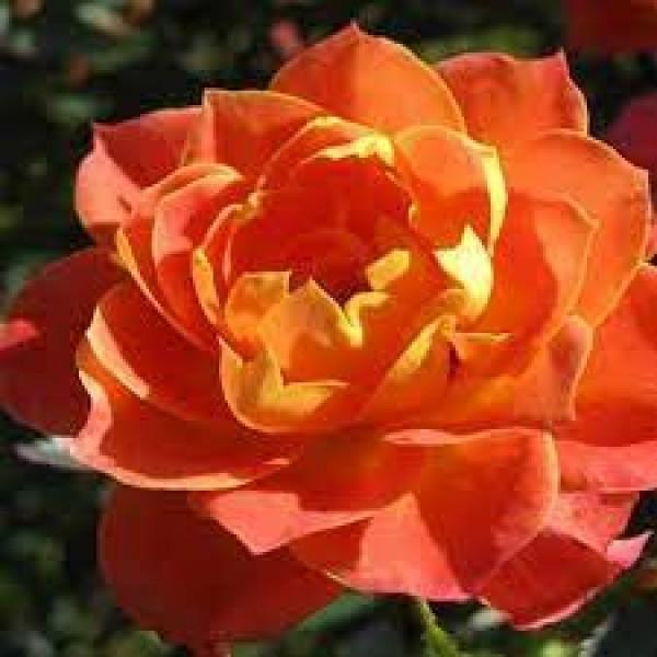 Роза Колибри, бордюрная, ОКС (упаковываем в мох свагнум)