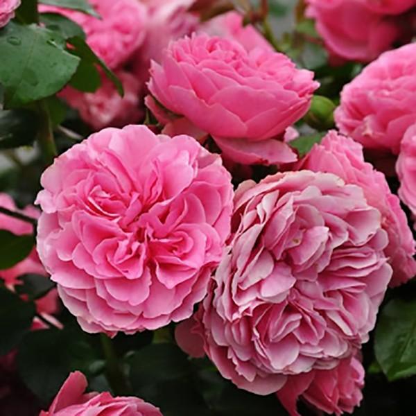 Роза Леонардо Да Винчи, флорибунда, ОКС (упаковываем в мох свагнум)