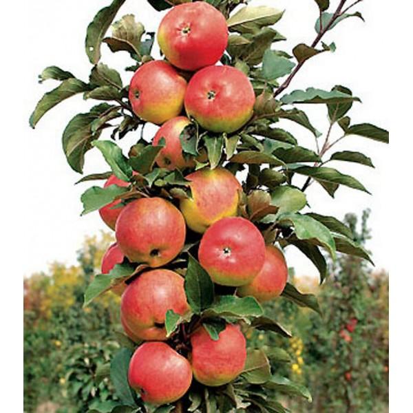 Яблоня Триумф (колоновидная), нет в наличии