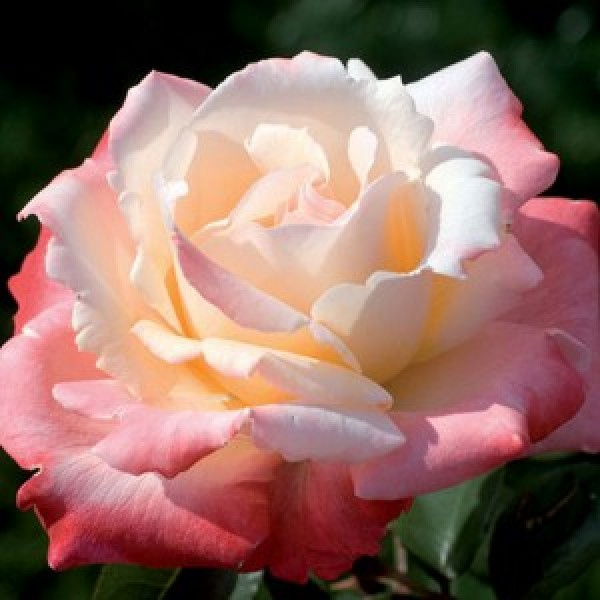 Роза Летиция Каста, чайно-гибридная, ОКС (упаковываем в мох свагнум)