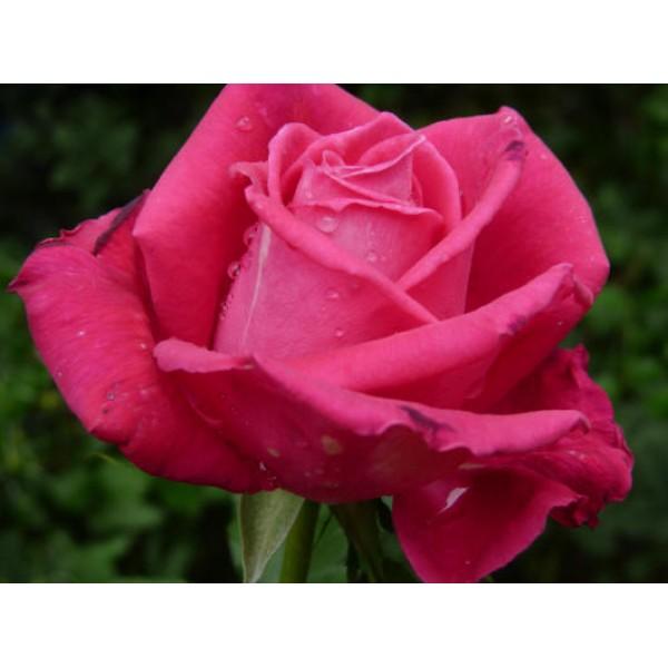 Роза Малиновый звон (Vin Rose), Чайно-гибридная