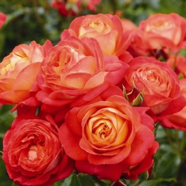 Роза Мидсаммер, флорибунда, ОКС (упаковываем в мох свагнум)