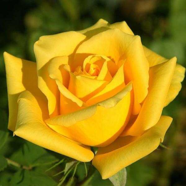 Роза Мохана, чайно-гибридная, ОКС (упаковываем в мох свагнум)