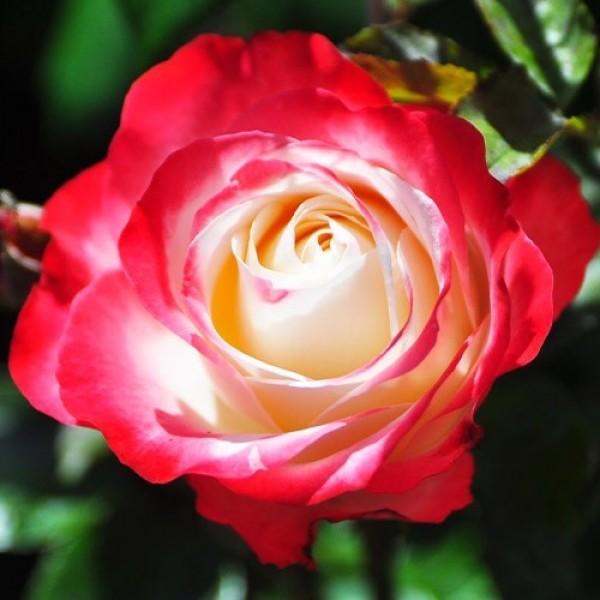 Роза Ностальжи, чайно-гибридная, ОКС (упаковываем в мох свагнум)