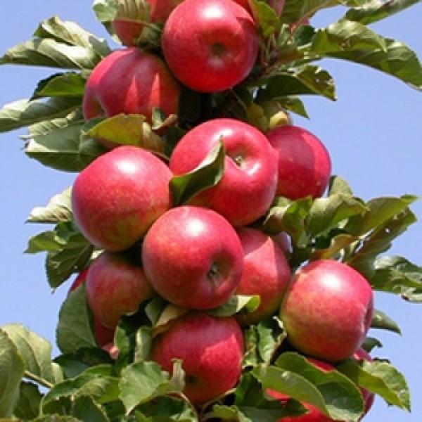 Яблоня Останкино (колоновидная), нет в наличии