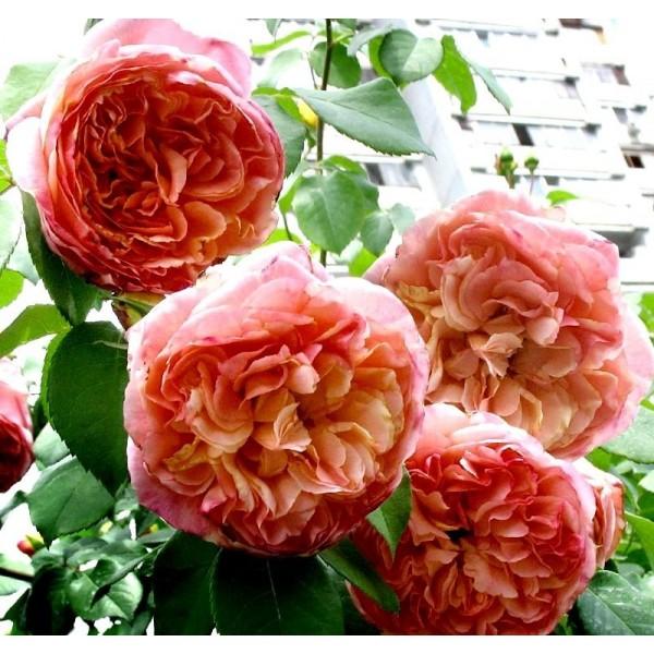 Роза Папи Дельбар, плетистая, ОКС (упаковываем в мох свагнум)
