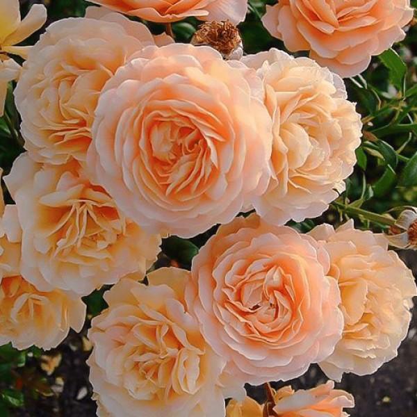 Роза Априкот Скай, плетистая, ОКС (упаковываем в мох свагнум)